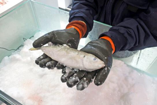 生き凍めを実演