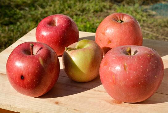 成田農園の不揃いりんご
