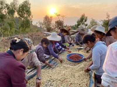 ミャンマーのコーヒー豆