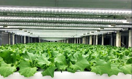 20210226seiyu - 西友/品川区「大森店」にレタス植物工場を開設