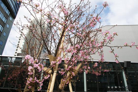 会場には一足早く桜を設置